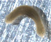 2-headed worm