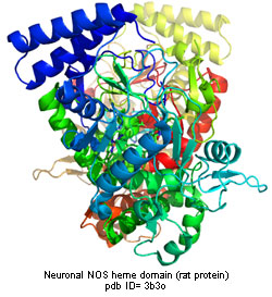 neuronal NOS crystal structure