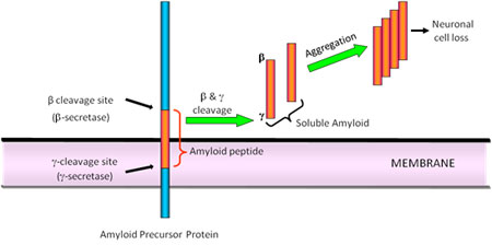 Amyloid pathway