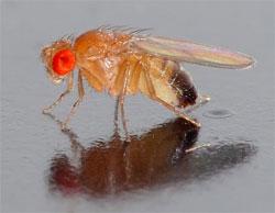 Drosphila Melanogaster Image: Wikipedia - André Karwath
