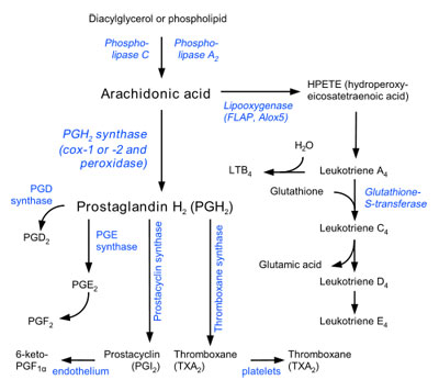 The Arachidonic Acid Pathway Image: Wikipedia