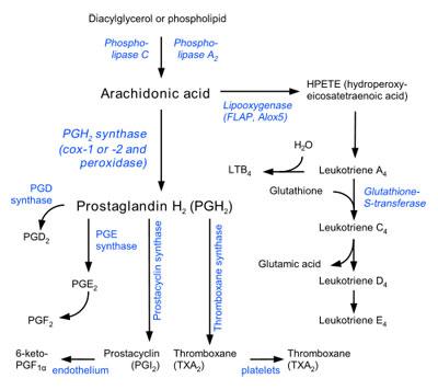 The Arachidonic Acid Pathway Image: Wikipedia