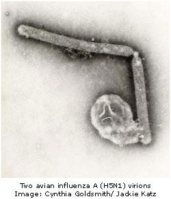 H5N1 avian influenza virions