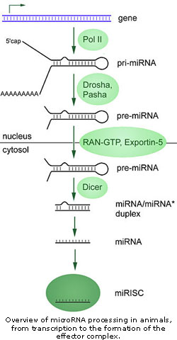 miRNA pathway