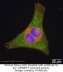 Hela cells stained for PARK7
