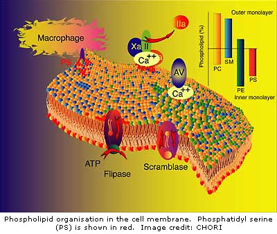 phospholipid membrane