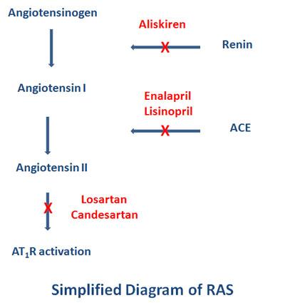 renin angiotensin system scheme