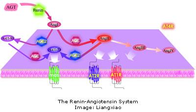 Renin Angiotensin system