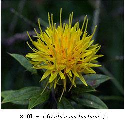 how to grow safflower uk