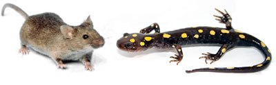 mouse and salamander
