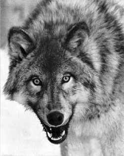 The name 'lupus' may have arisen because skin lesions resemble the bite of a wolf.  Image: Wikimedia - Natonal Park Service
