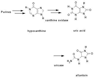 purine catabolic pathway